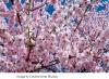 geplant! Kirschblüte und Kultur 18.April 2020 Bonn und Petersberg